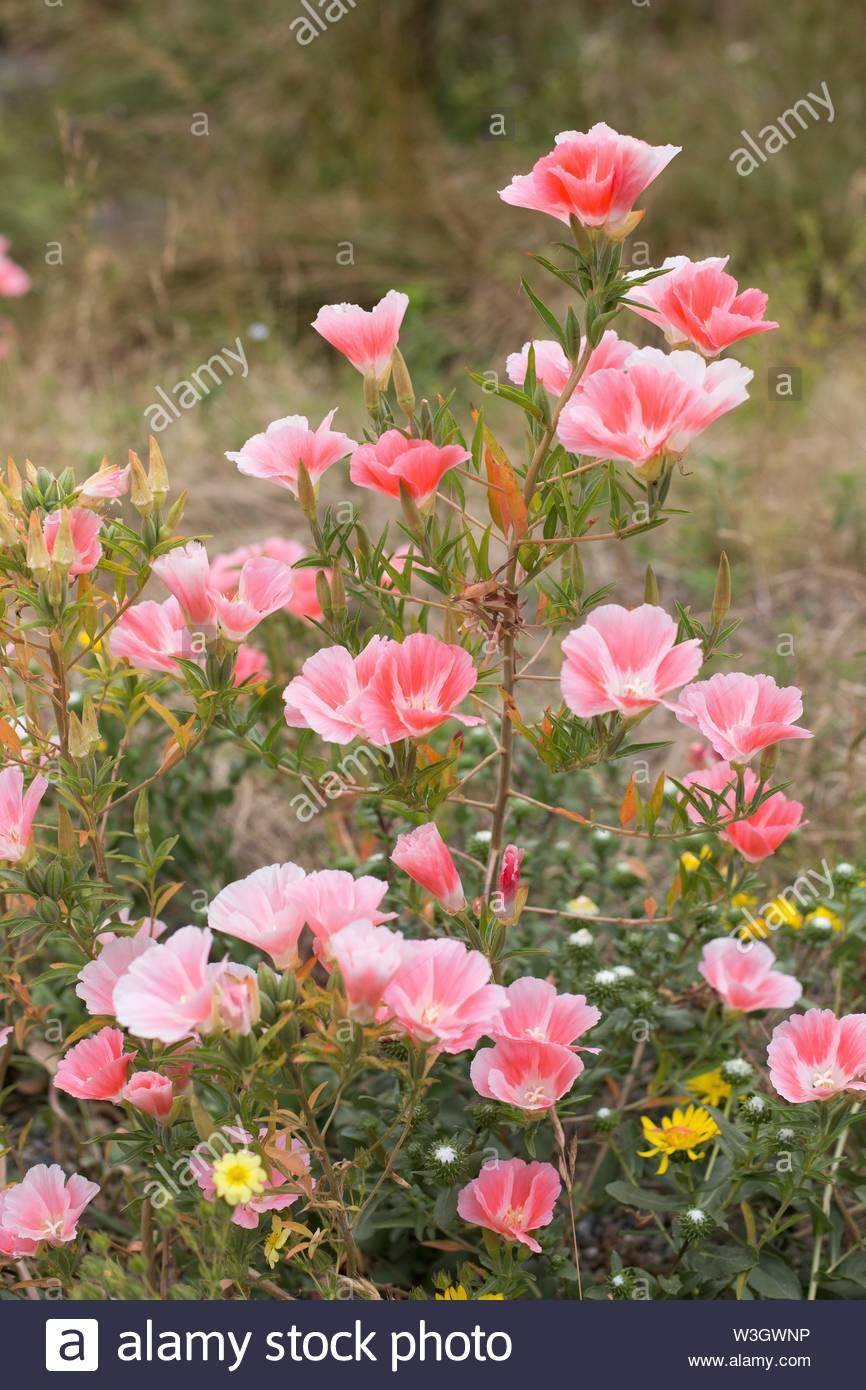"""Clarkia amoena, también conocido como """"adiós a la Primavera"""" Flores. Imagen De Stock"""