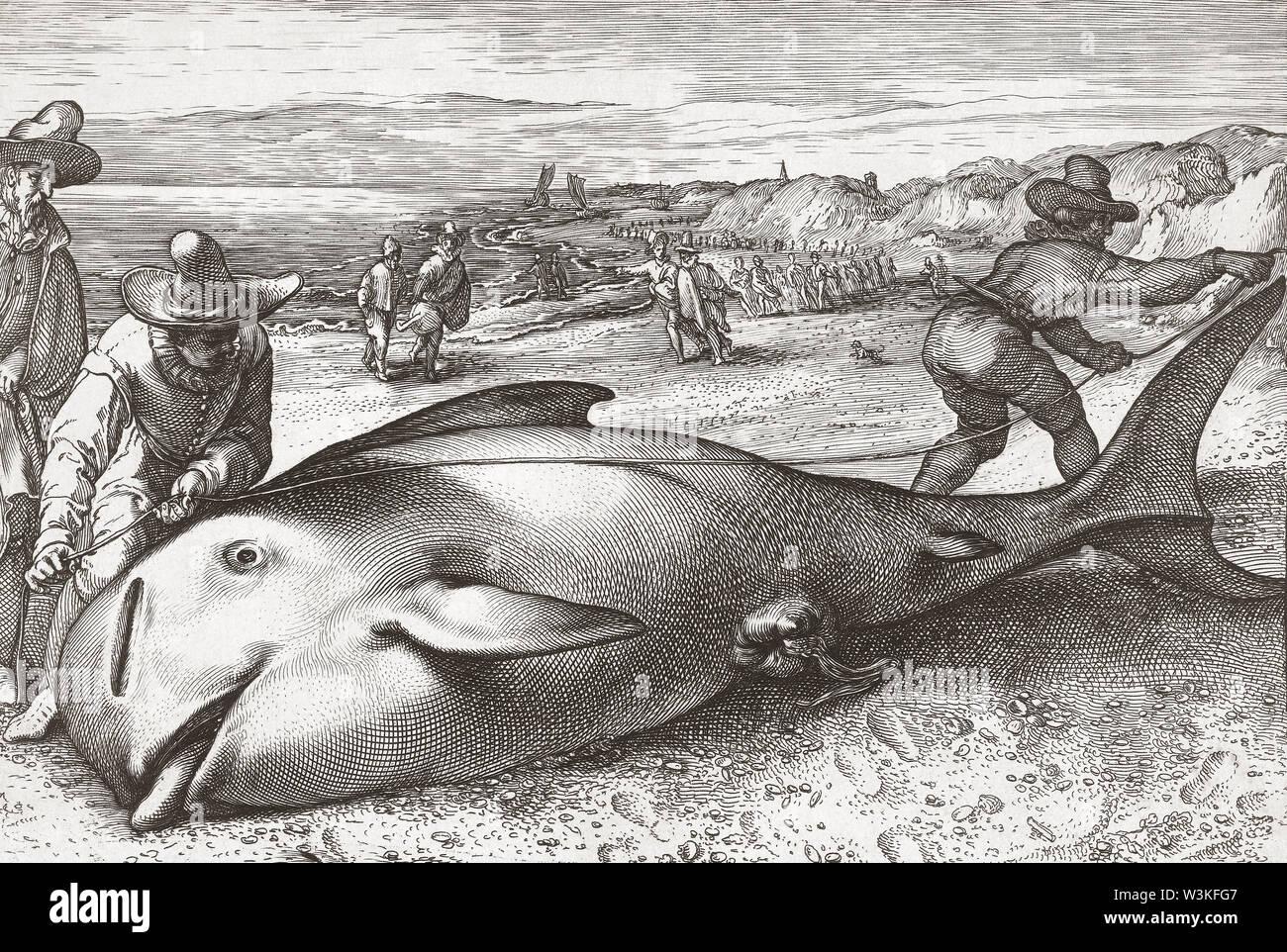Dos hombres, medir la longitud de una ballena varada muerta. A finales del siglo XVI después de una impresión. Foto de stock