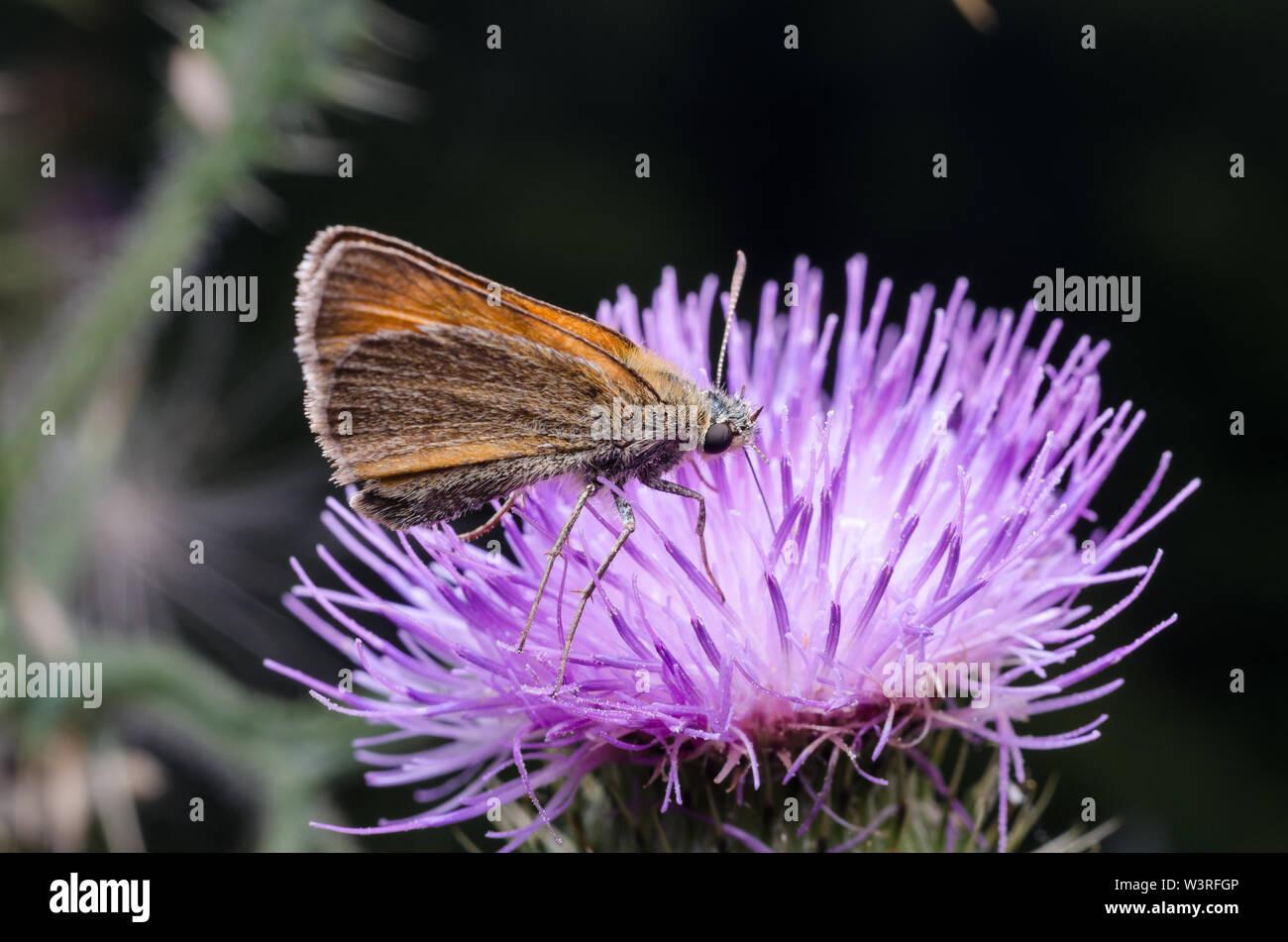 Hesperiidae, patrón mariposa sobre una flor morada Foto de stock