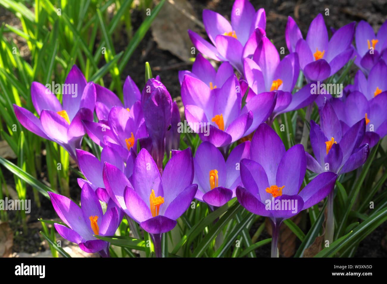 Violeta hermosa crocus flores en el jardín. Signo de la primavera Imagen De Stock