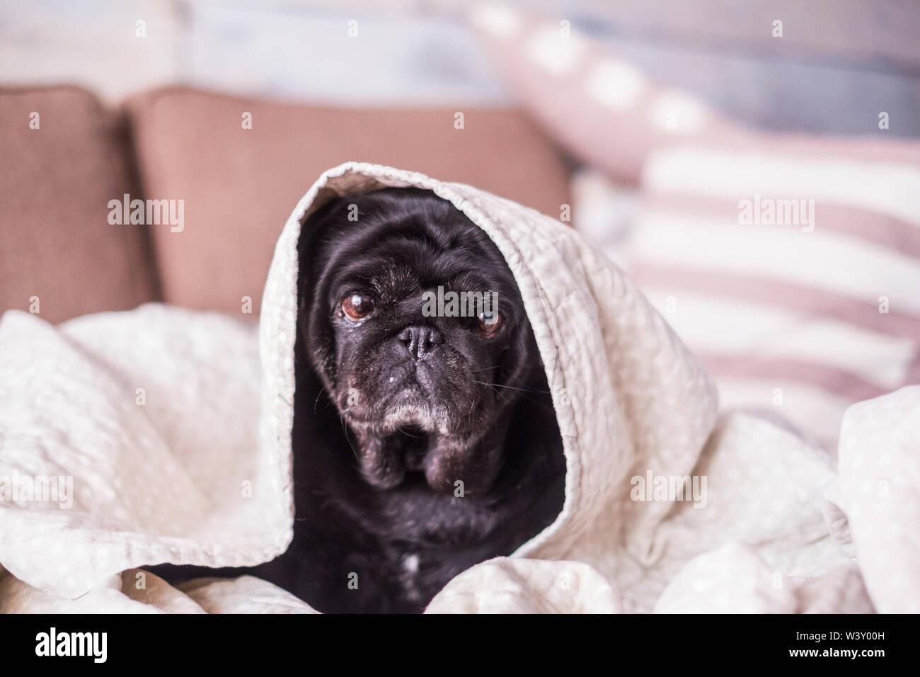 Perro pug es divertirse jugando bajo la manta. Acostado sobre una camilla marrón mirando la cámara con ojos de licitación envuelto en una sábana blanca. Cachorro en ho Imagen De Stock