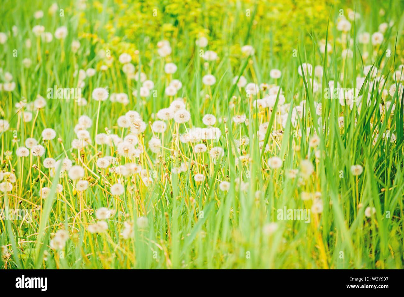 La pasto verde fresco y luz blanca flores de diente de león. Fondo natural. Concepto de primavera. Muchas flores de licitación en el campo. Jaramago soft bloom. Eco y orgánicos. Diente de león en la naturaleza. Campo de diente de león. Imagen De Stock