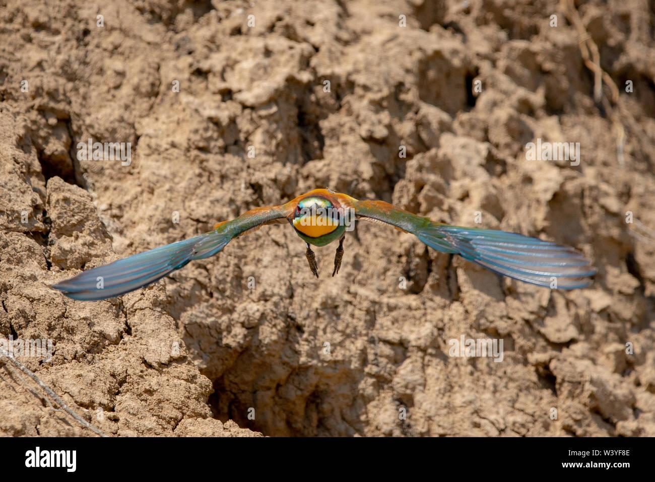 El Abejaruco Europeo o Merops apiaster en hábitat natural. Foto de stock