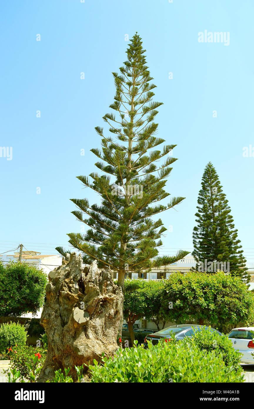 La Isla Norfolk, nombre latino de pino Araucaria heterophylla 'Glauca' Imagen De Stock