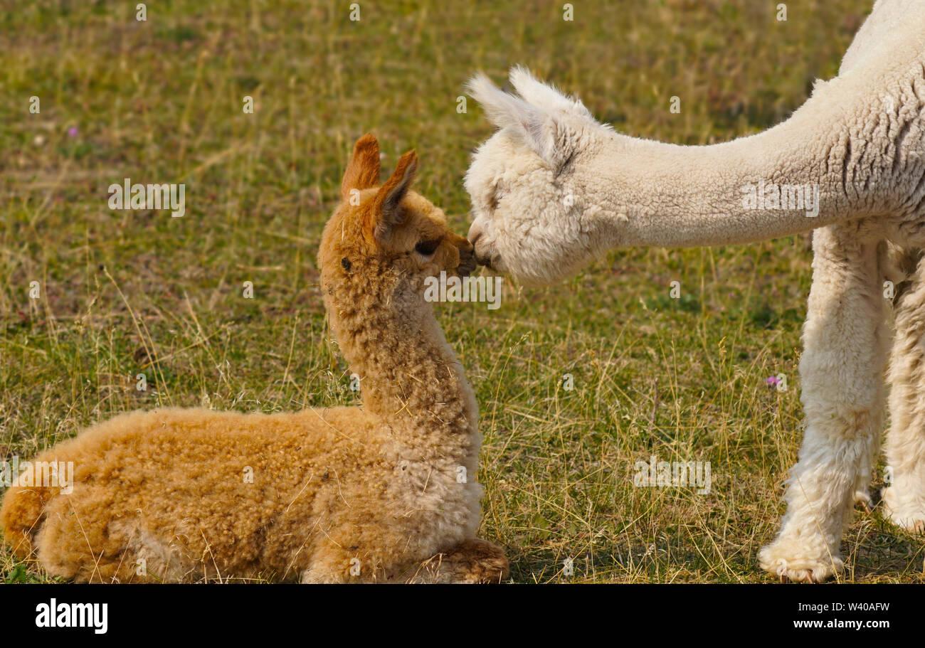 Dos jóvenes comparten un tierno momento de Alpaca Imagen De Stock