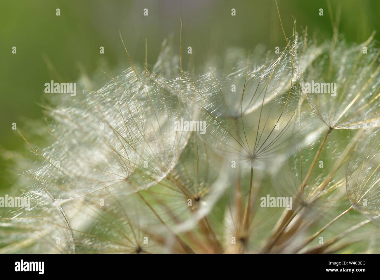 Fondo con la semilla pericos y volando las semillas de un diente de león en verano delante de fondo verde Imagen De Stock