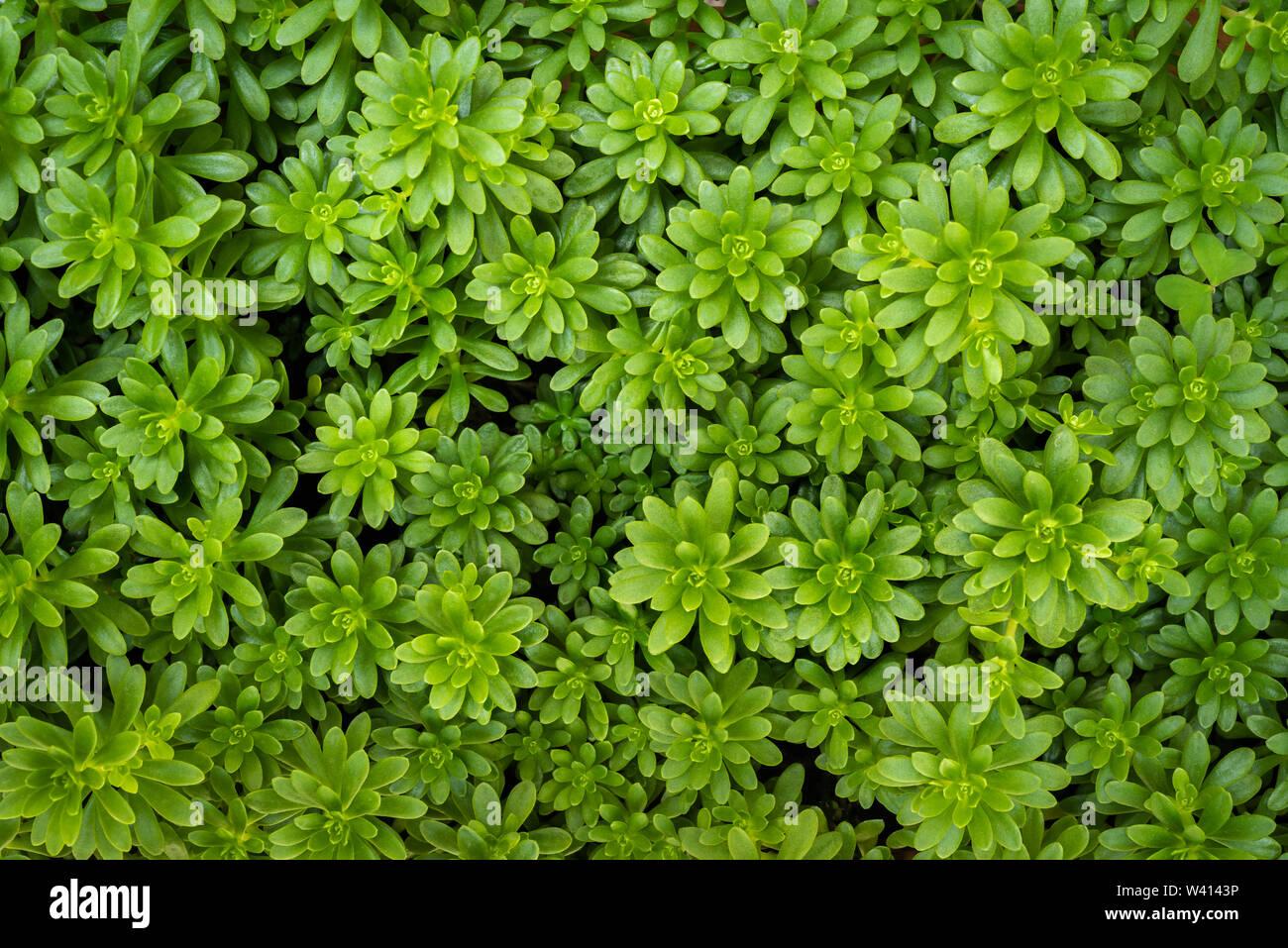 Sedum luteoviride, hojas suculentas plantas con flores en la familia de las crasuláceas Foto de stock