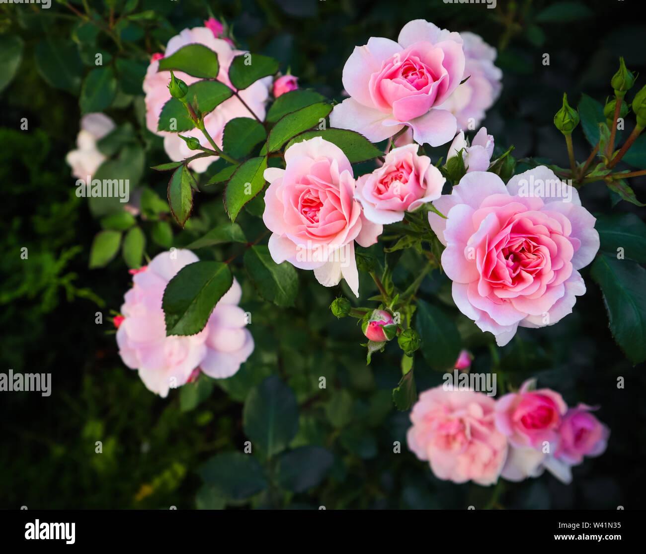 Bonica hermosas rosas rosas en el jardín. Perfecta para fondo de tarjetas  de felicitación para cumpleaños, el Día de San Valentín y el día de la  madre Fotografía de stock - Alamy