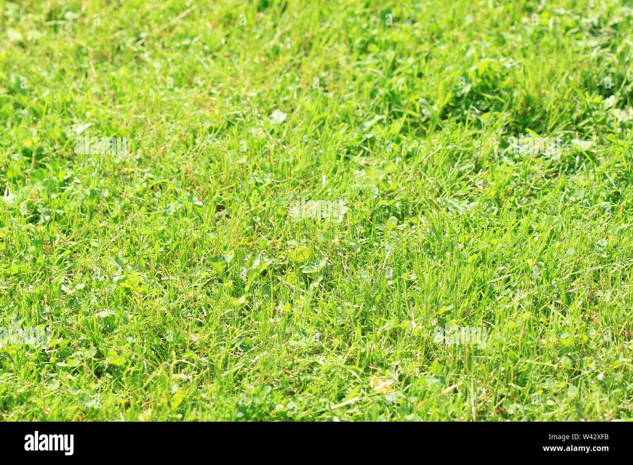 La pasto verde en el sol - textura Imagen De Stock
