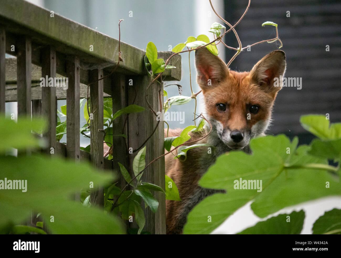 Fox urbano: un joven zorro rojo europeo salvaje mete su cabeza detrás de una higuera en un jardín privado en Brighton Seafront, Inglaterra, Reino Unido. Foto de stock