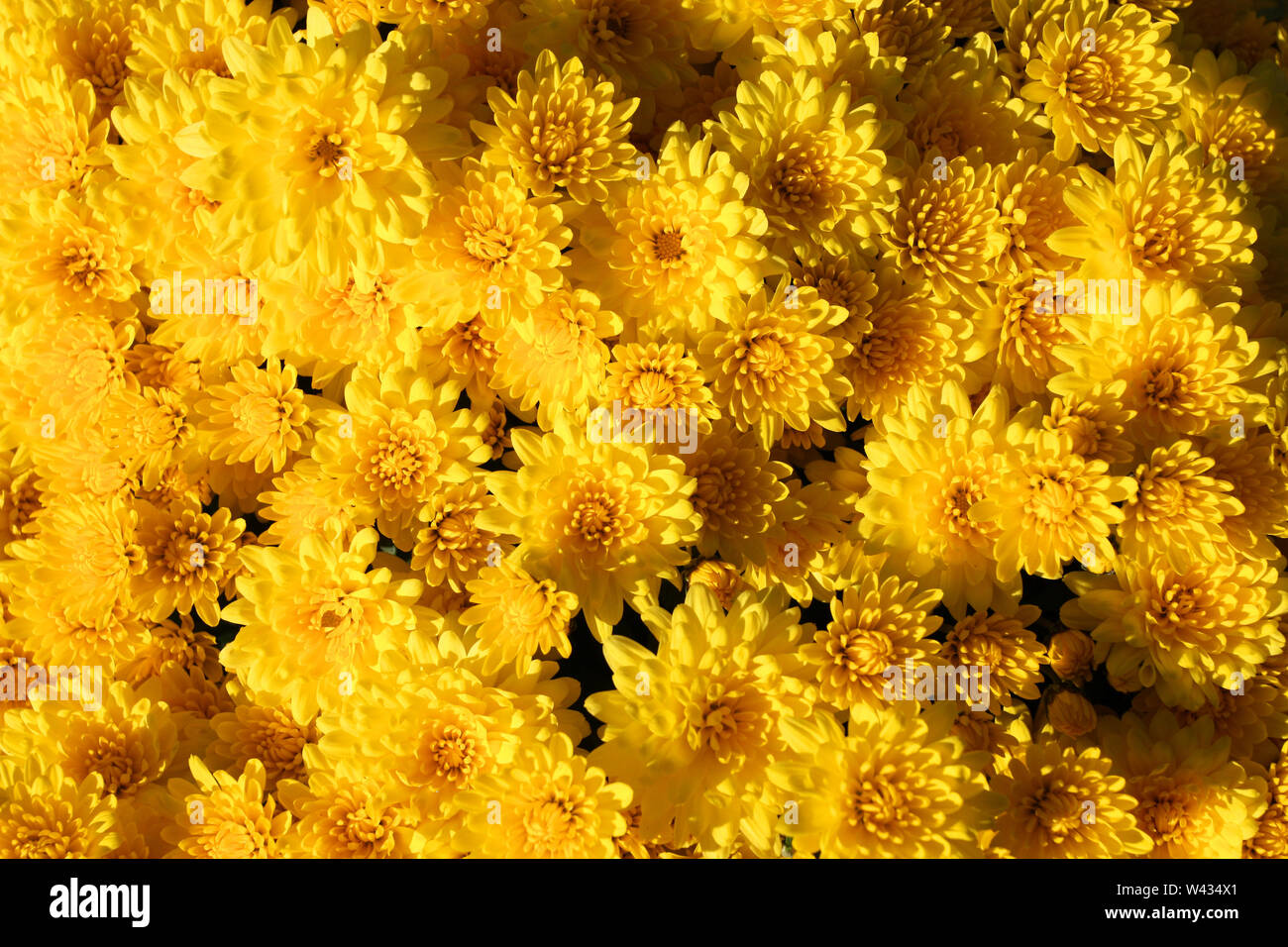 Fondo de flores de crisantemo amarillo Imagen De Stock