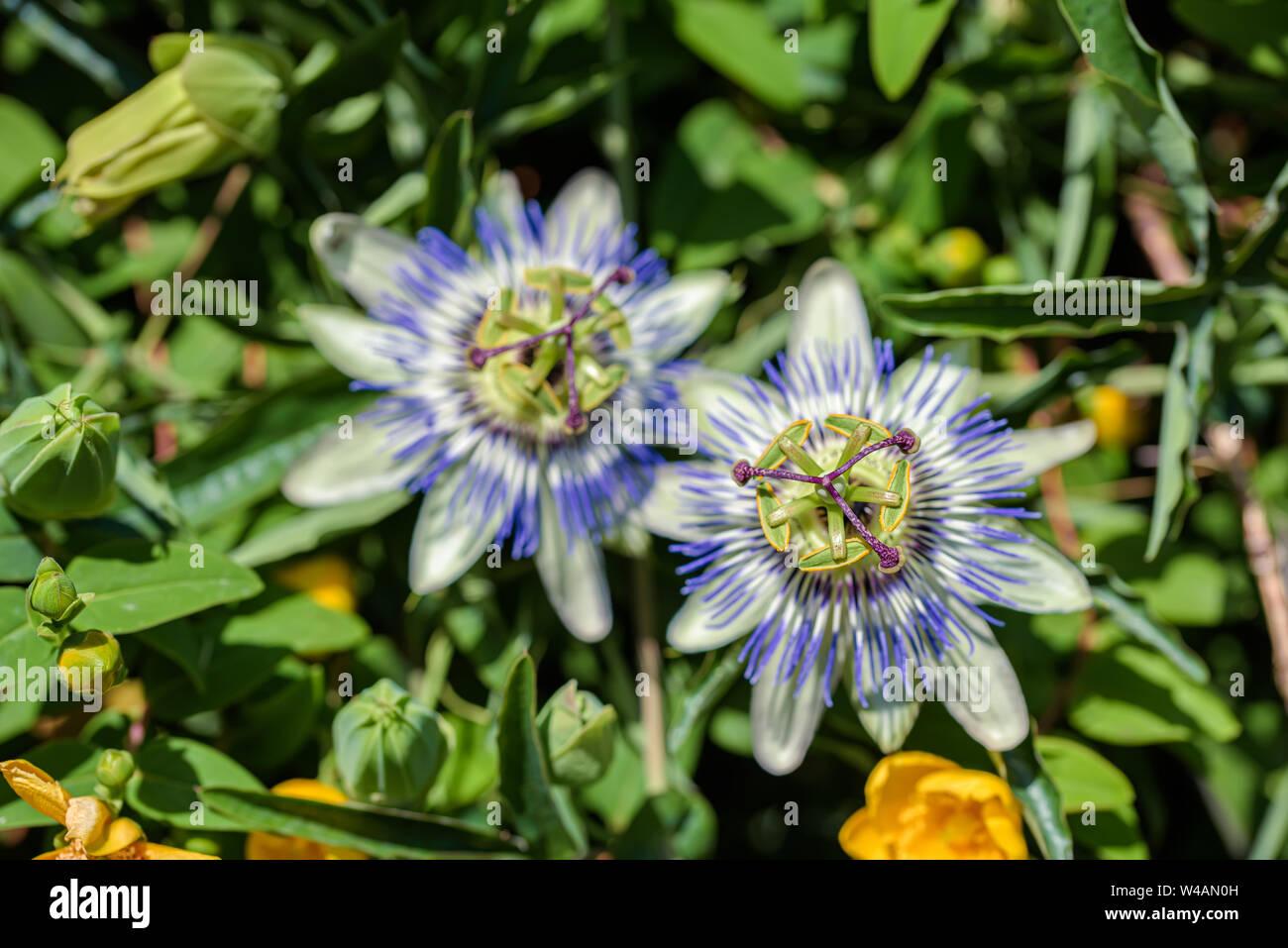 Las flores de la planta sur purple passionflower cerrar Foto de stock