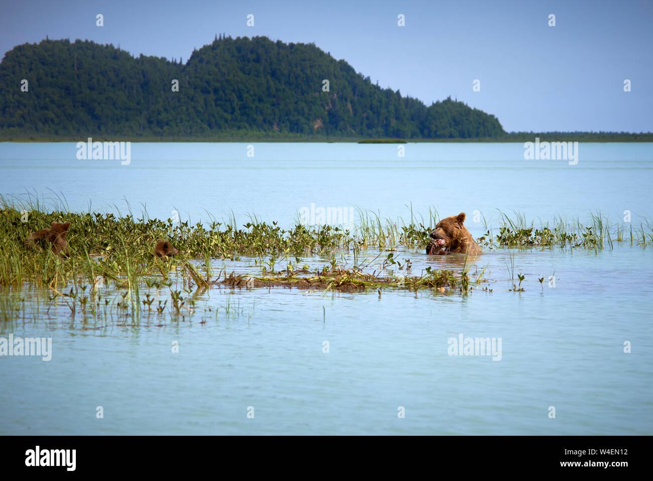 Brown Bear family la natación y la pesca en Alaska Foto de stock