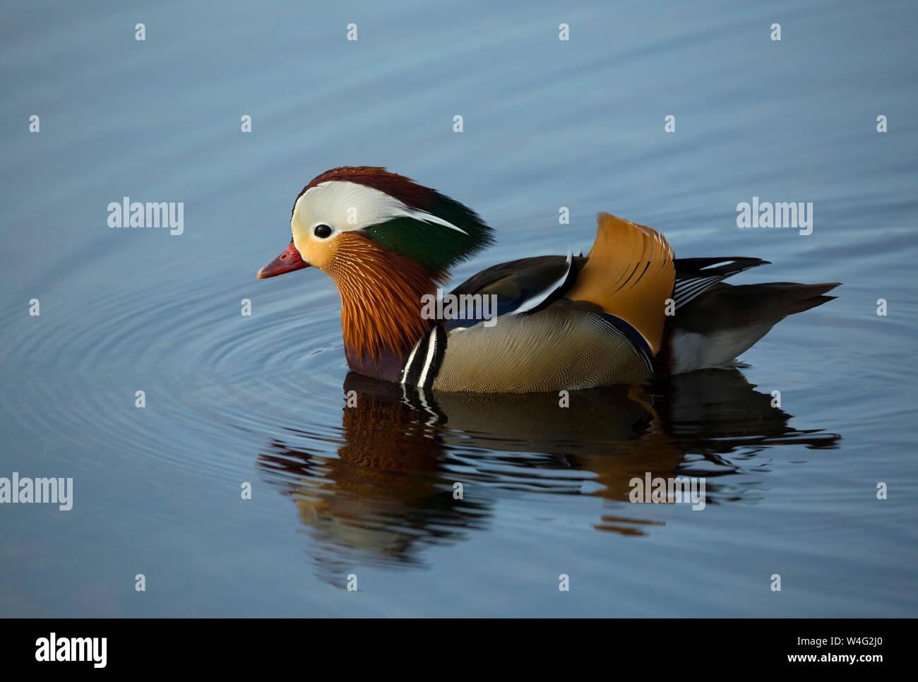 Pato Mandarin nadando en Pooley Bridge cerca de Ullswater en el Lake District National Park Foto de stock