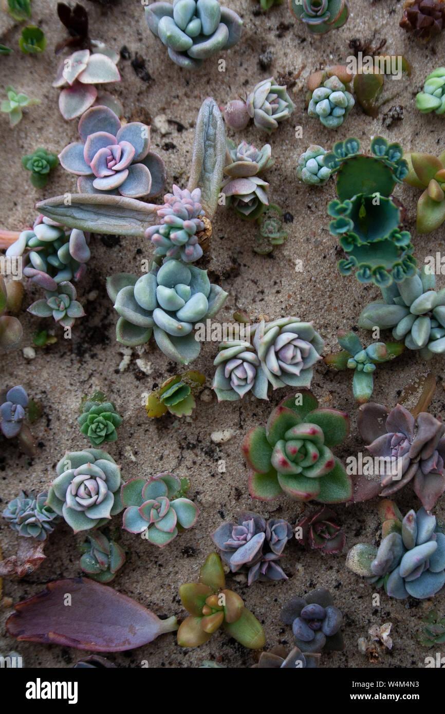 Varias pequeñas plantas suculentas en suelos arenosos de un alto ángulo de visión Foto de stock