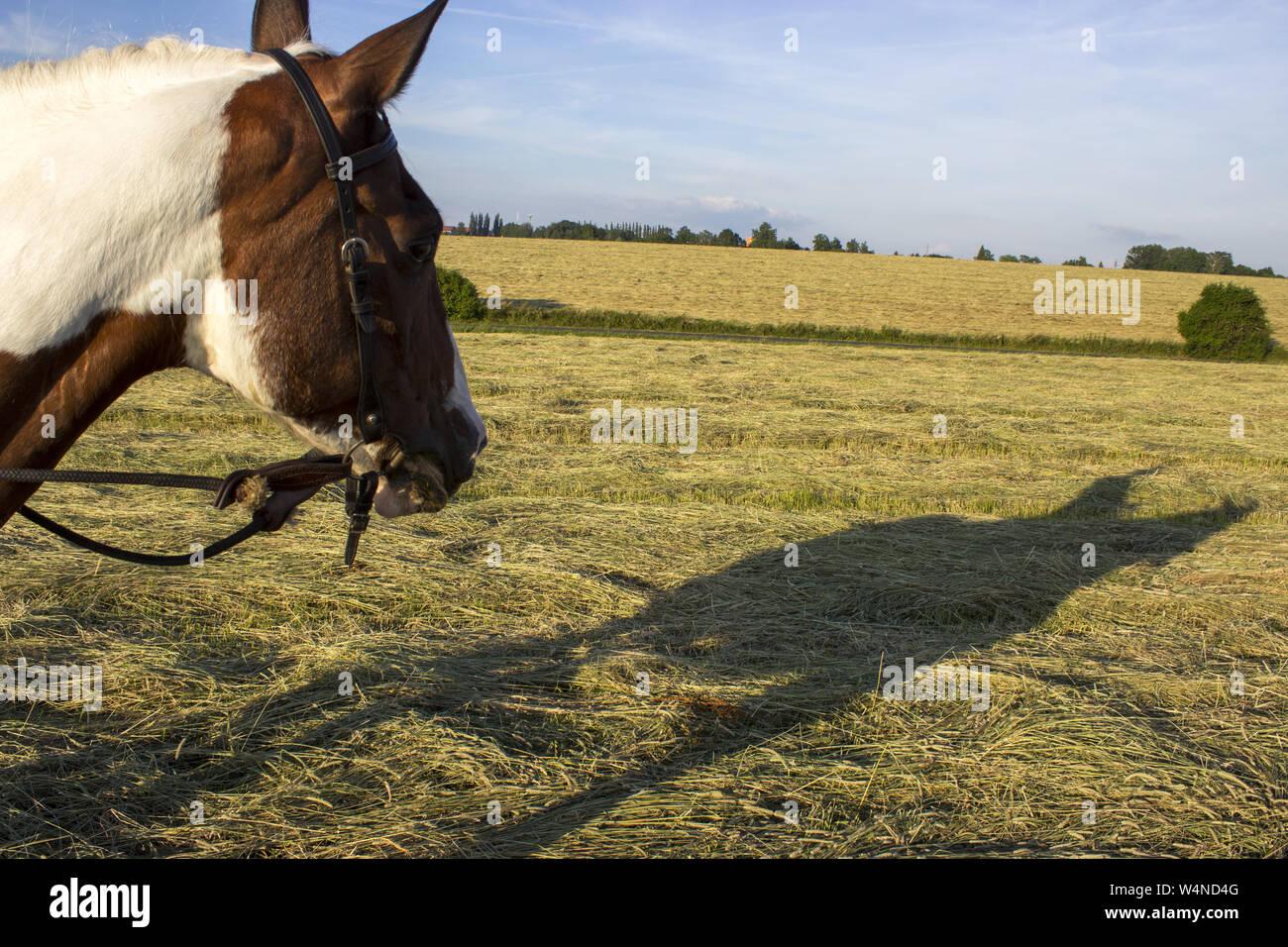 El caballo mira su sombra con el jinete. Mare y su sombra. Foto de stock