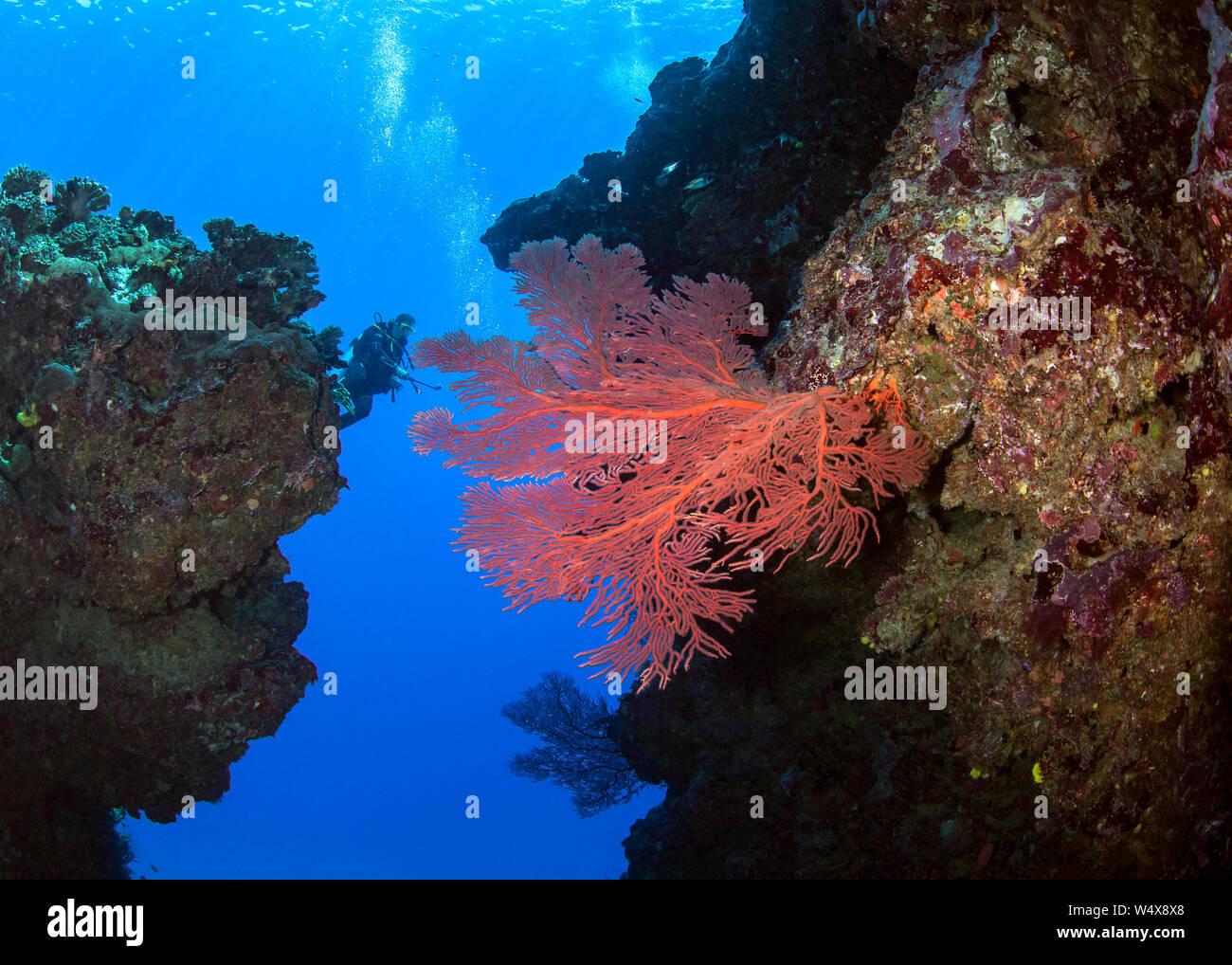 Scuba Diver femenino toma el metraje de vídeo de gran fan de mar rojo entre imponentes pináculos. Beqa Lagoon, Fiji. Foto de stock