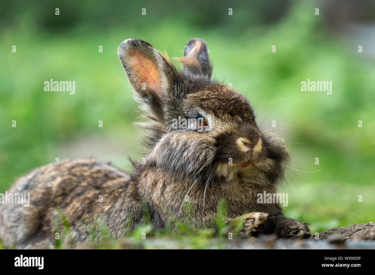 Un marrón lindo conejo enano (Lions head) descansando en la hierba Foto de stock