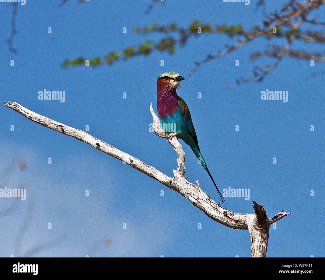 Una de las aves más espectaculares de la selva. El Lilac Breasted Roller perchas notoriamente en las cimas de los arbustos y matorrales desde donde todavía Foto de stock