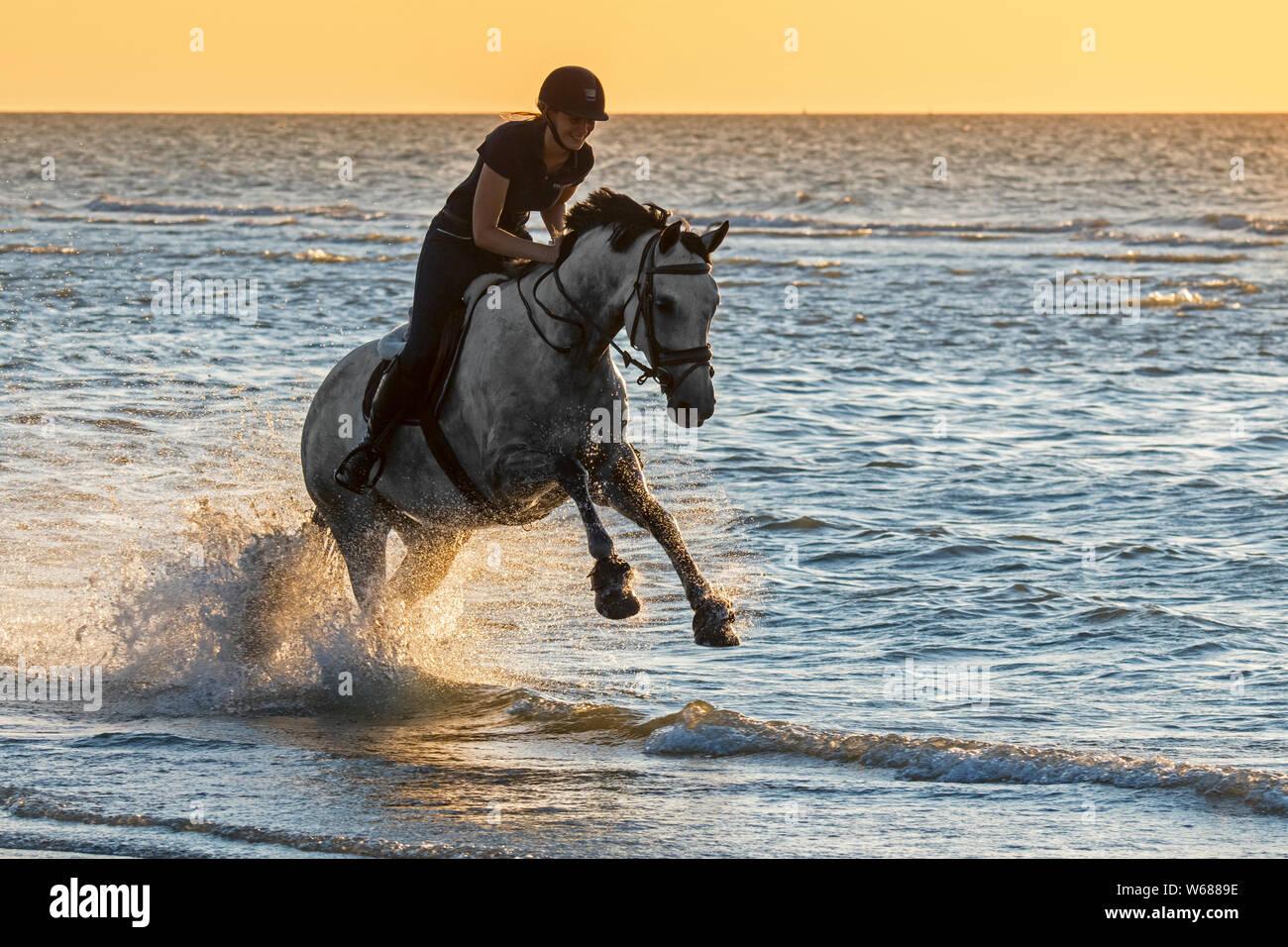 Amazona / Mujer jinete a caballo al galope a través de aguas poco profundas en la playa en la costa del Mar del Norte Foto de stock