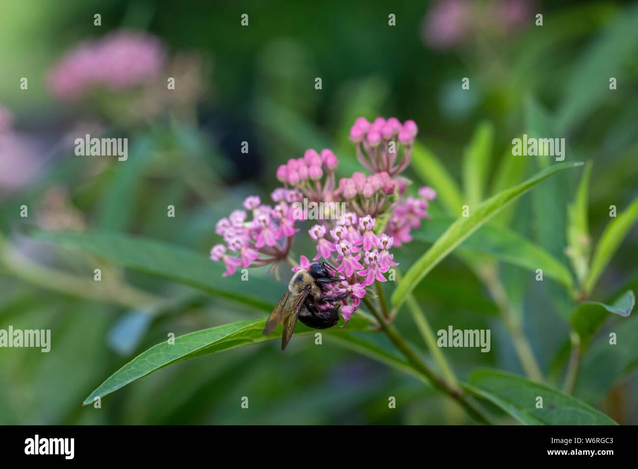 En el pantano de abejorros asclepias Foto de stock