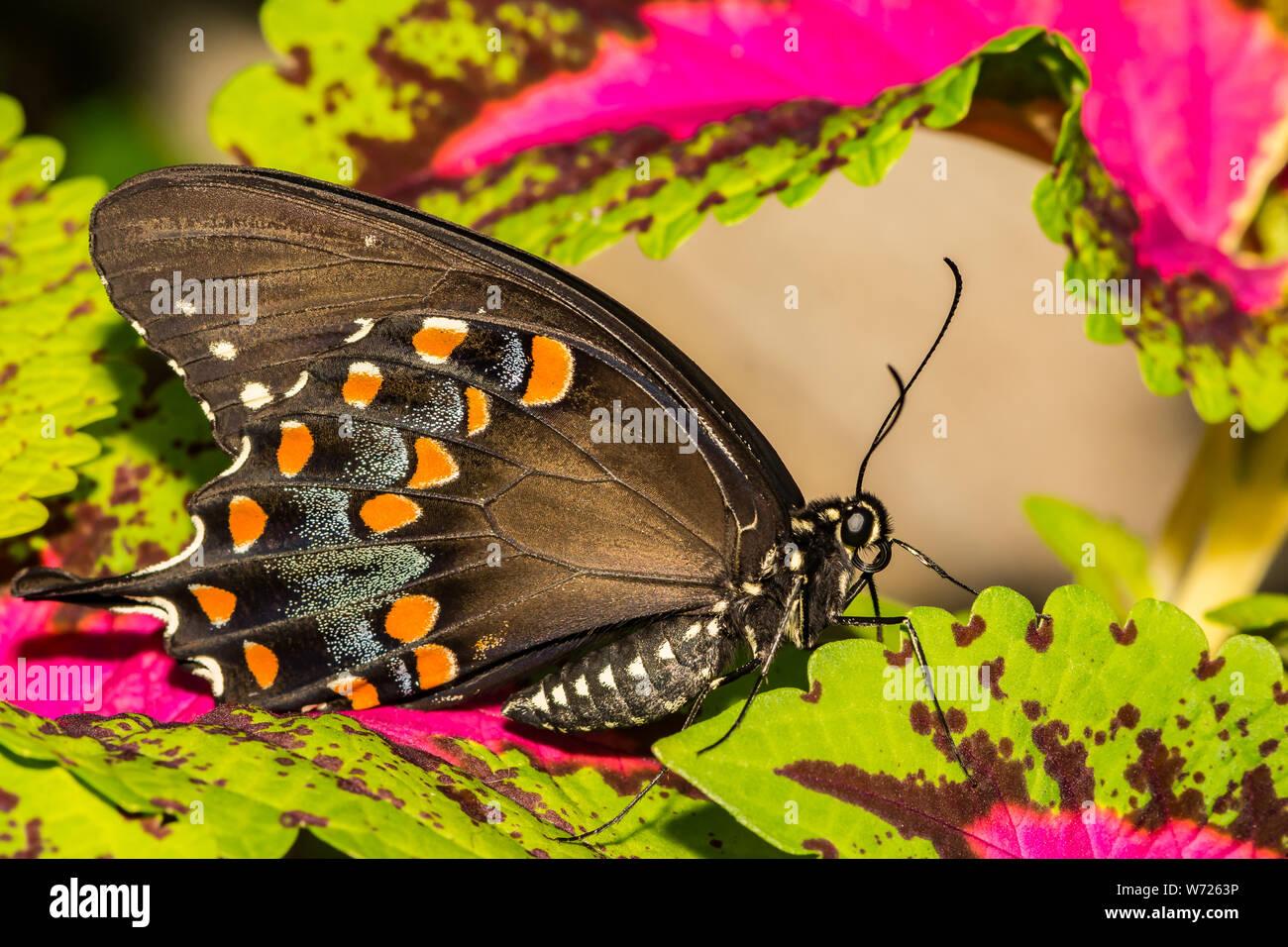 Especie Spicebush Butterfly (Papilio Troilo) Foto de stock