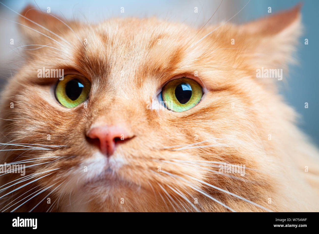 Ginger cat con hermosos ojos verdes - extreme closeup retrato Foto de stock