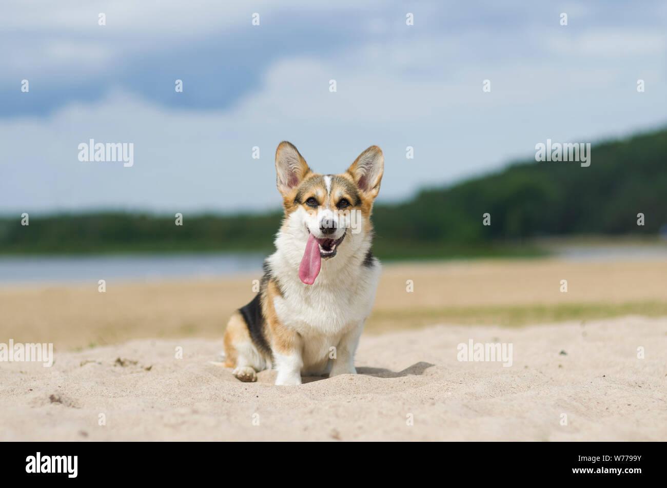 Welsh Corgi pembroke perro en la arena de la playa, relajarse y tomar el sol en verano, Belarús, Lake Shore Braslaw Foto de stock
