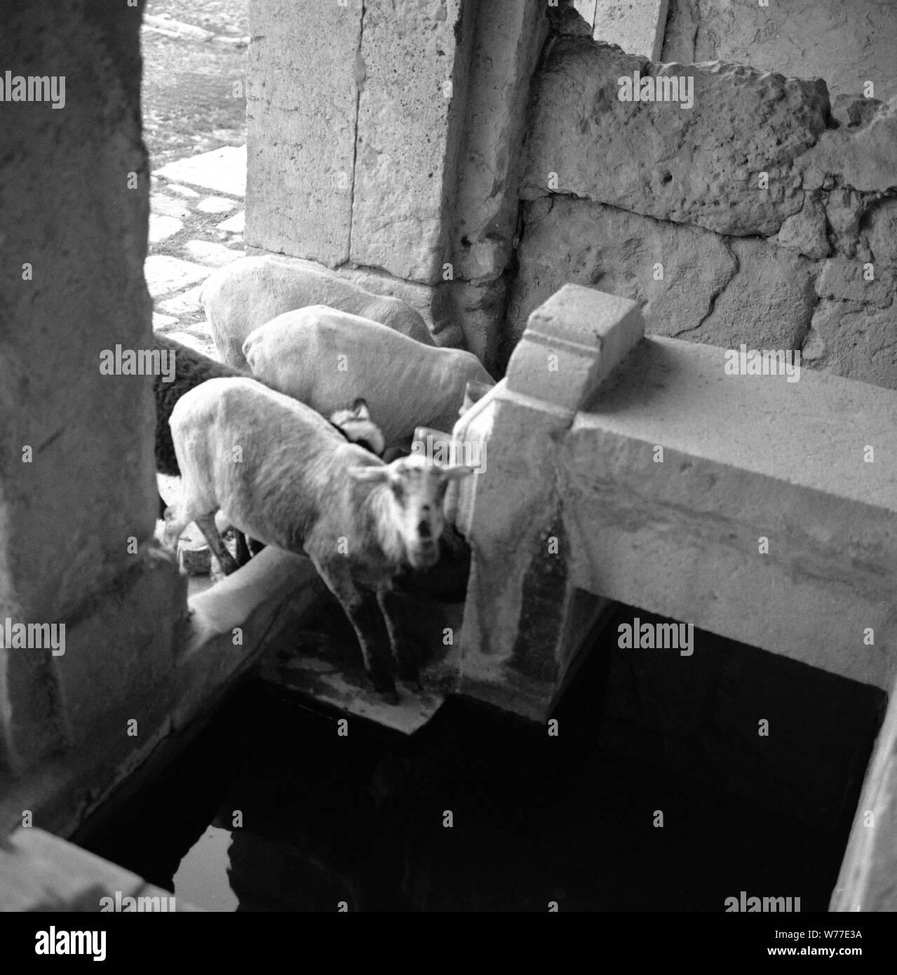 ABREVADERO - FOTOGRAFIA EN BLANCO Y NEGRO - Años 50. Ubicación: exterior. Ocaña. Toledo. España. Foto de stock