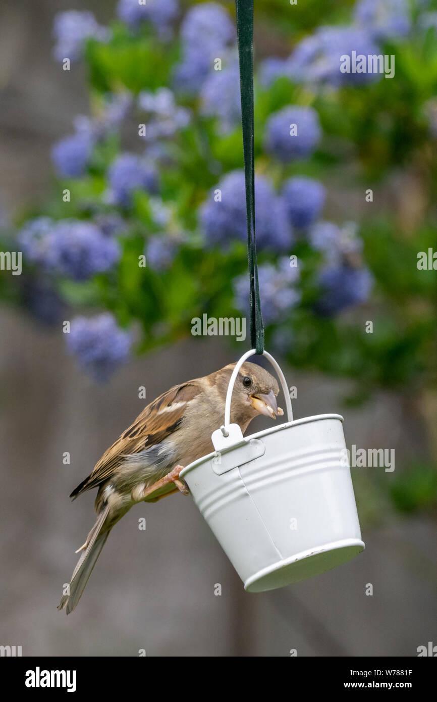 La fauna de la ciudad con un gorrión (Passer domesticus), encaramado en un comedero de jardín con insectos atrapados en pico Foto de stock