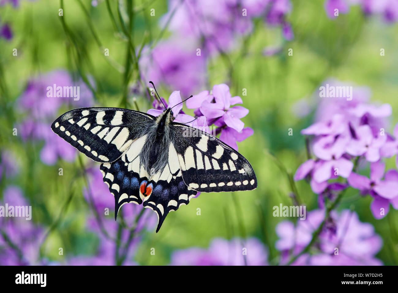 Especie de mariposa Papilio machaon britannicus (Reino Unido) Foto de stock