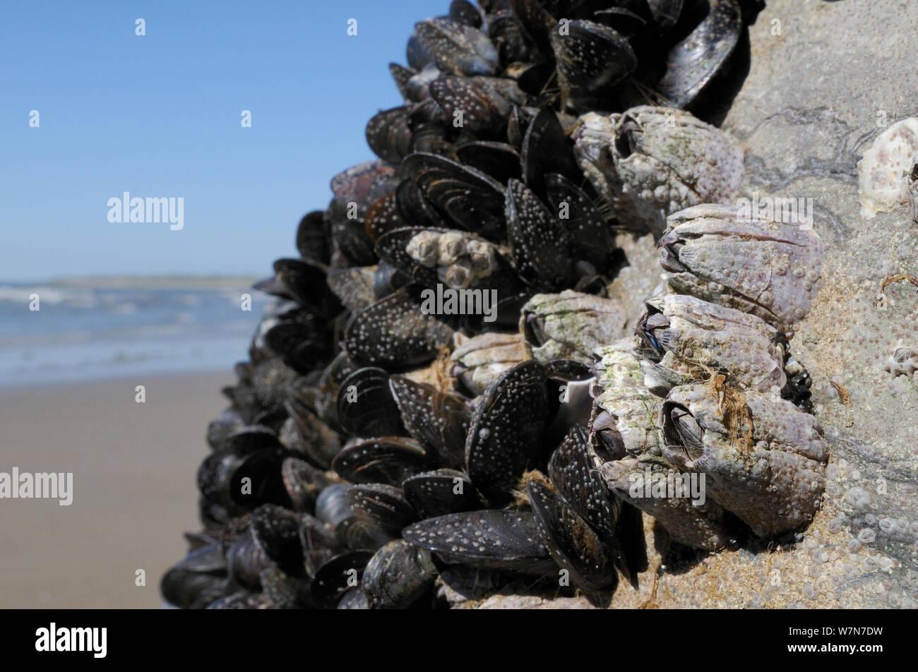 Amplio ángulo de visión de Acorn percebes (Balanus perforatus) adjunta a las rocas junto a Common mejillones (Mytilus edulis) con jóvenes percebes y recientemente se asentaron cyprid larvea en proceso de calcificante en la cara de la roca y el mejillón percebe y conchas, expuesta en la orilla baja en la marea baja. Rhossili, la Península de Gower, REINO UNIDO, Julio. Foto de stock