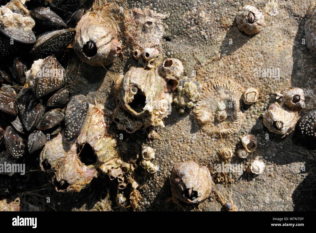 Acorn percebes (Balanus perforatus) vivos y muertos adjunta a rocas comunes junto a mejillones (Mytilus edulis) con masas de muy joven, percebes y recientemente se asentaron cyprid larvas en el proceso de calcificante en la cara de la roca y el mejillón percebe y conchas. Rhossili, la Península de Gower, REINO UNIDO, Julio. Foto de stock
