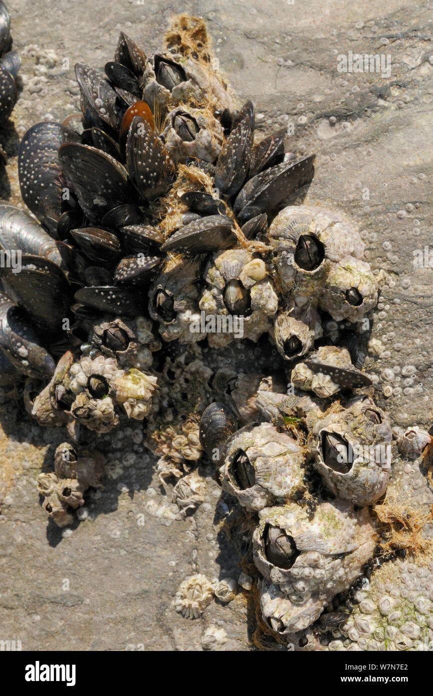 Acorn percebes (Balanus perforatus) conectados a rocas calizas comunes junto a mejillones (Mytilus edulis) con percebes y recientemente se asentaron cyprid larvas en el proceso de calcificante en la cara de la roca y el mejillón percebe y conchas, expuesta en la orilla baja en la marea baja. Rhossili, la Península de Gower, REINO UNIDO, Julio. Foto de stock