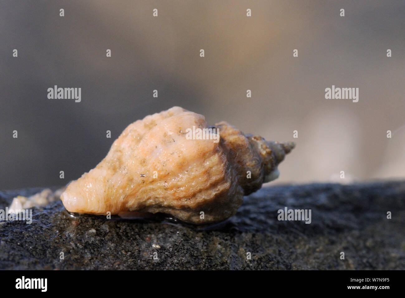 Ostra europea / taladro Sting winkle (Ocenebra erinacea) es una plaga de criaderos de ostras, se desplazan a lo largo de rocas muy baja en la costa, cerca de Falmouth, Cornwall, Reino Unido, Agosto. Foto de stock