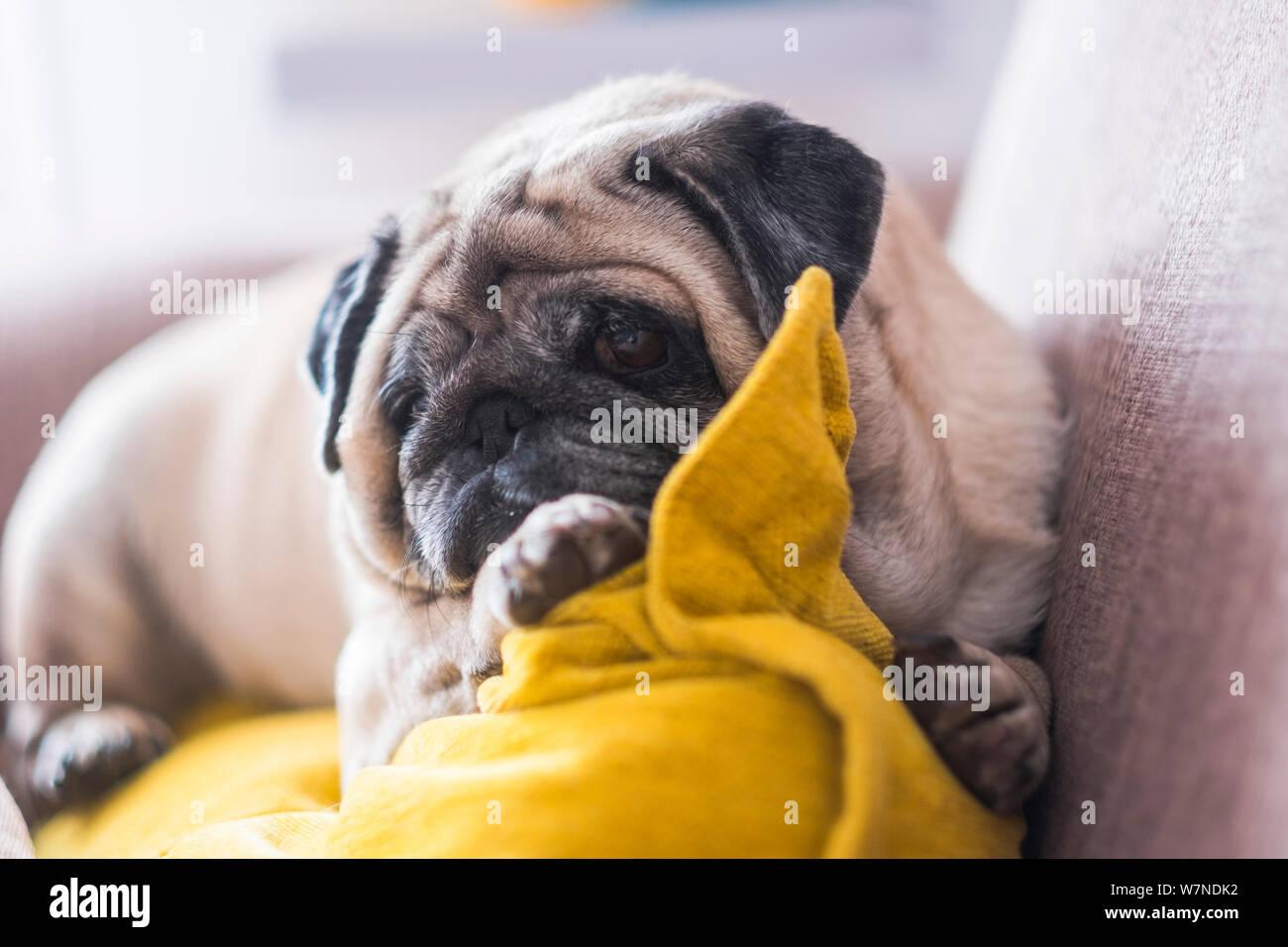 Lazy hermoso cachorro pug perro descansar en casa en el sofá - Best Friend Forever dog concepto Foto de stock