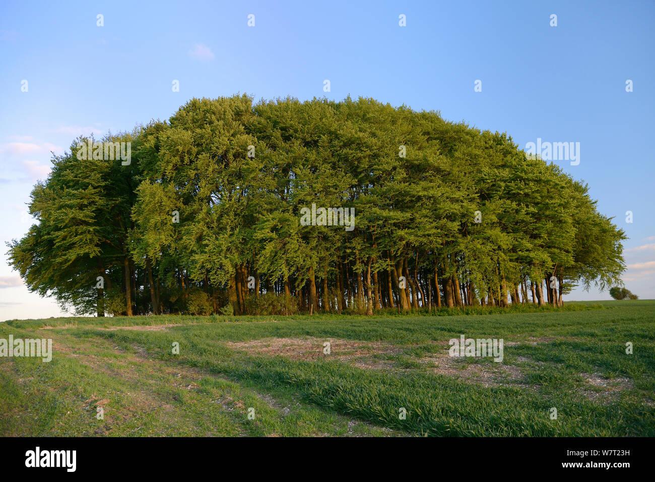 Racimos de hayedo (Fagus sylvatica) y campo de labranza en el Ridgeway, antigua pista y ruta de larga distancia, a la luz del atardecer, Marlborough Downs, Wiltshire, REINO UNIDO, Mayo. Foto de stock