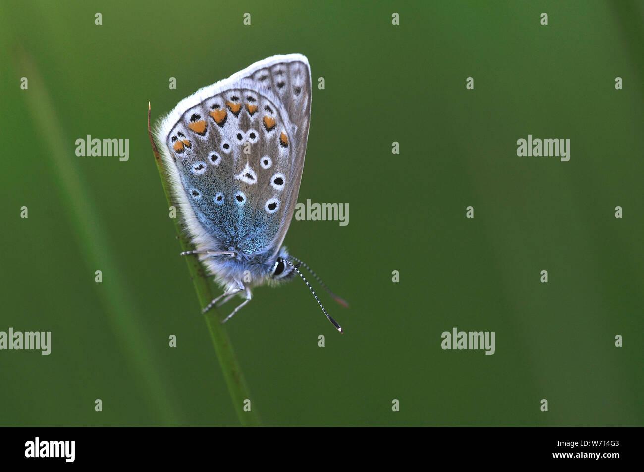 Mariposa Azul común (Polyommatus icarus) Dorset, Reino Unido. Mayo Foto de stock