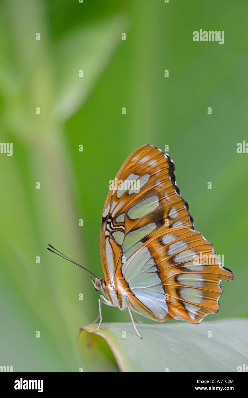 Malaquita Butterfly (Siproeta stelenes) en una granja de mariposas, nativo de América Latina. Foto de stock