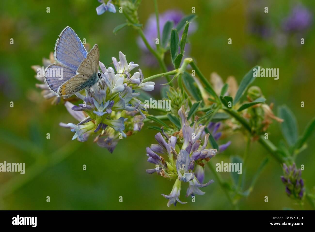 Mariposa Azul común (Polyommatus icarus) de alfalfa (Medicago sativa) Flor, Vendée, Francia, Julio. Foto de stock