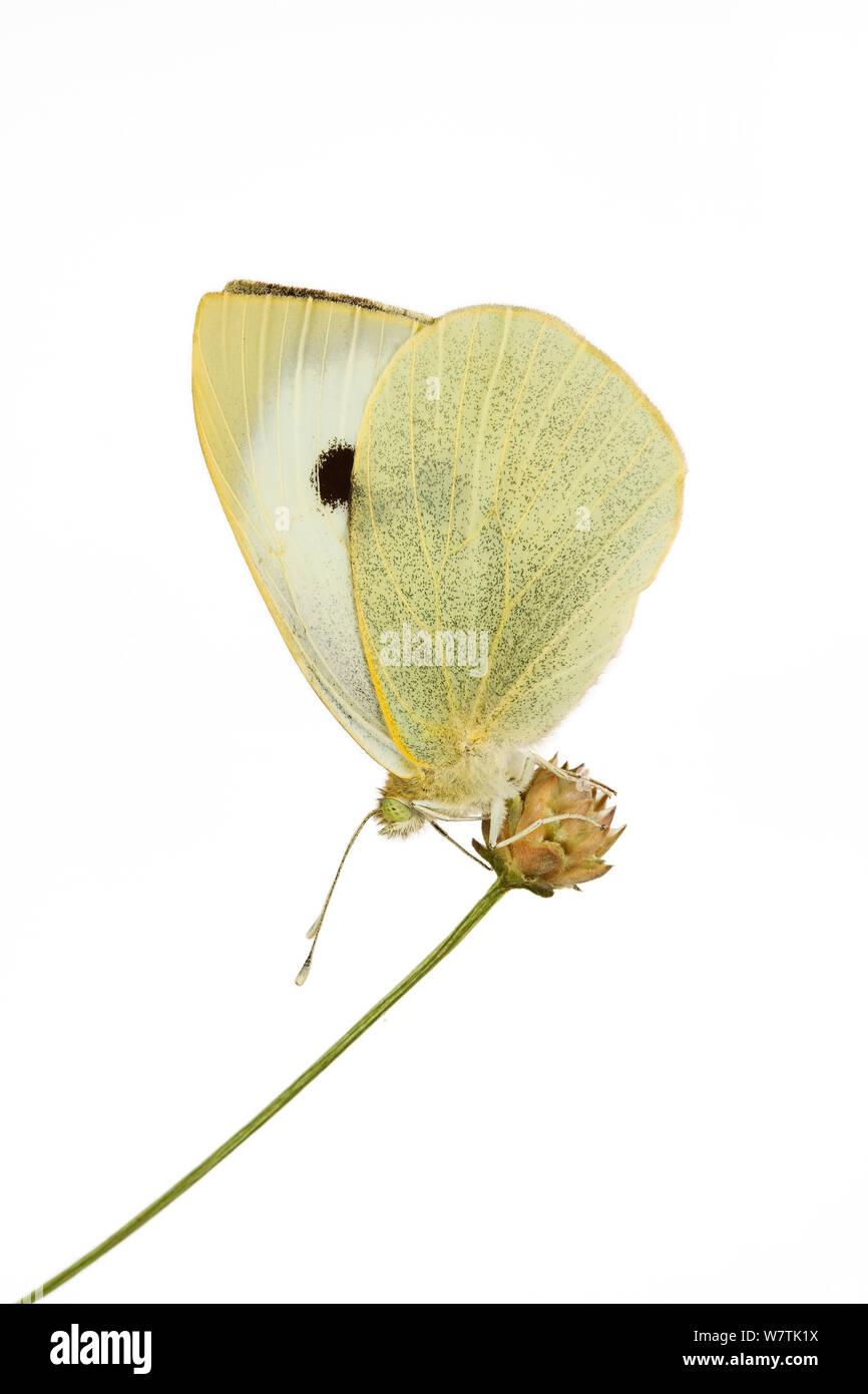 El repollo blanco Pieris rapae (mariposas) Ovada, Piamonte, Italia. Proyecto Meetyourneighbors.net Foto de stock