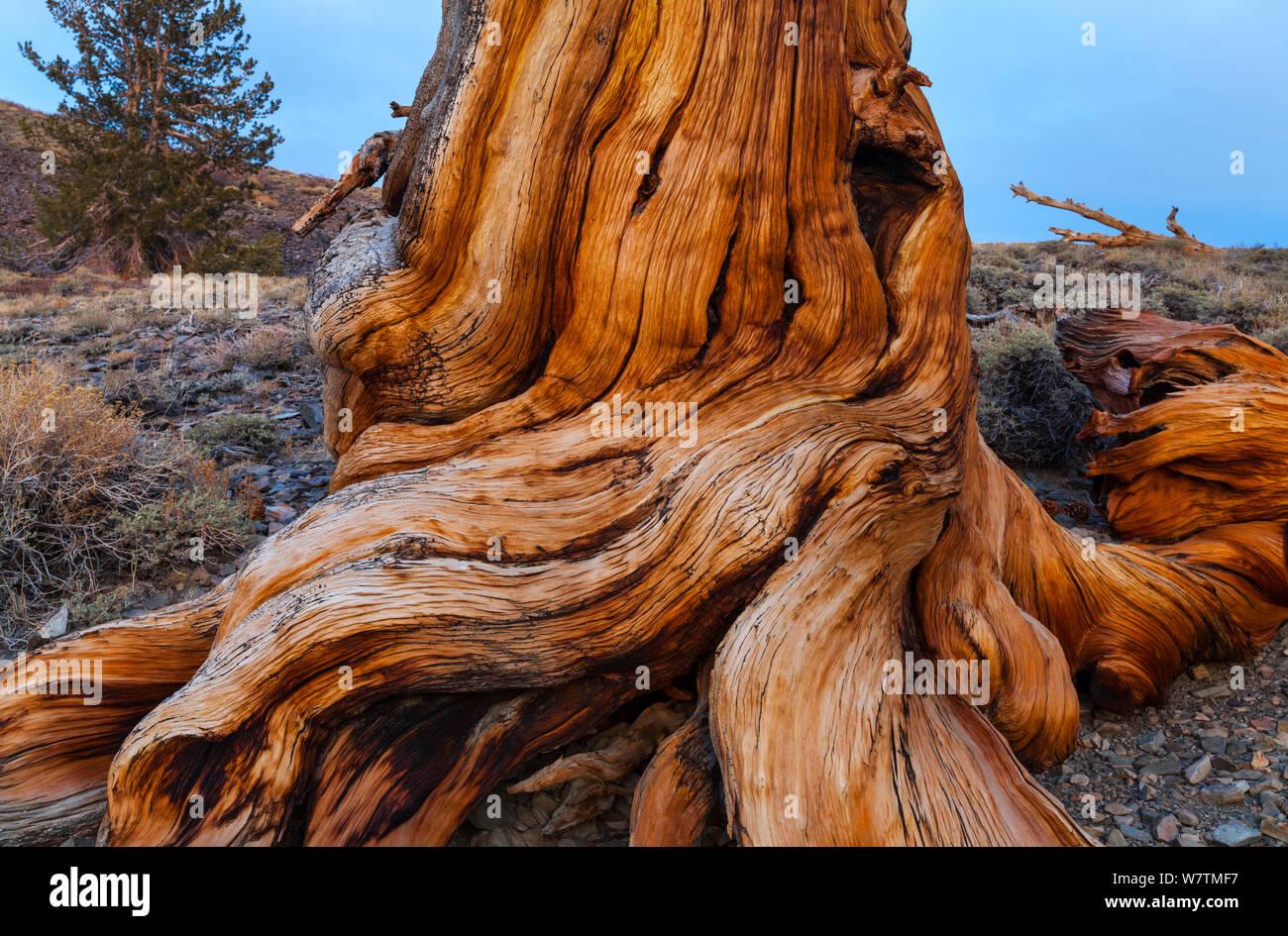 Great Basin Bristlecone Pine (Pinus longaeva) raíces del árbol antiguo, Inyo National Forest, White Mountains, California, EE.UU., marzo. Foto de stock