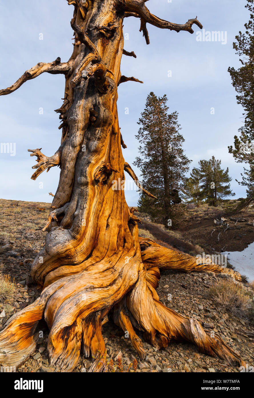 Great Basin Bristlecone Pine (Pinus longaeva) antiguo árbol, Bosque Nacional Inyo, White Mountains, California, USA. Foto de stock