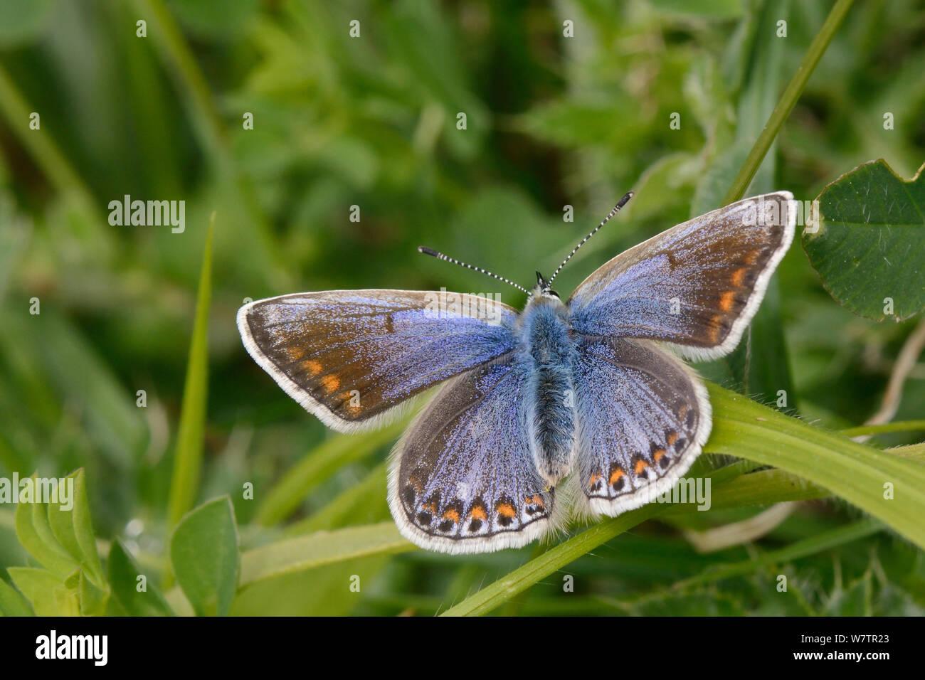 Hembra mariposa azul común (Polyommatus icarus) del sol en una hoja de hierba en una pradera pradera, Wiltshire, Reino Unido, junio. Foto de stock