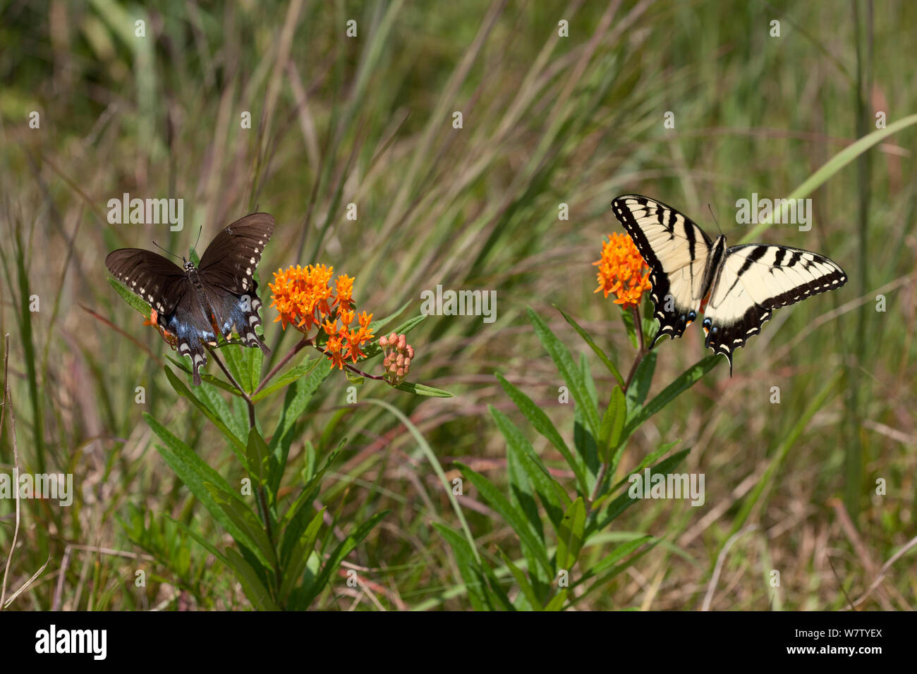 Papilio glaucus y Spicebush especie (Papilio Troilo) sobre mariposas, Francés de maleza Creek State Park, Berks County, Pennsylvania, Estados Unidos, Agosto. Foto de stock