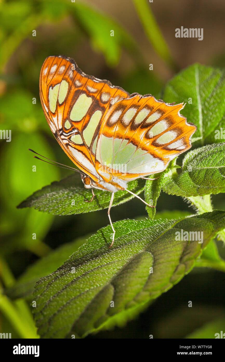 Butterfly (Siproeta stelenes Malaquita) cautivo, nativa de América del Norte a Brasil, Foto de stock