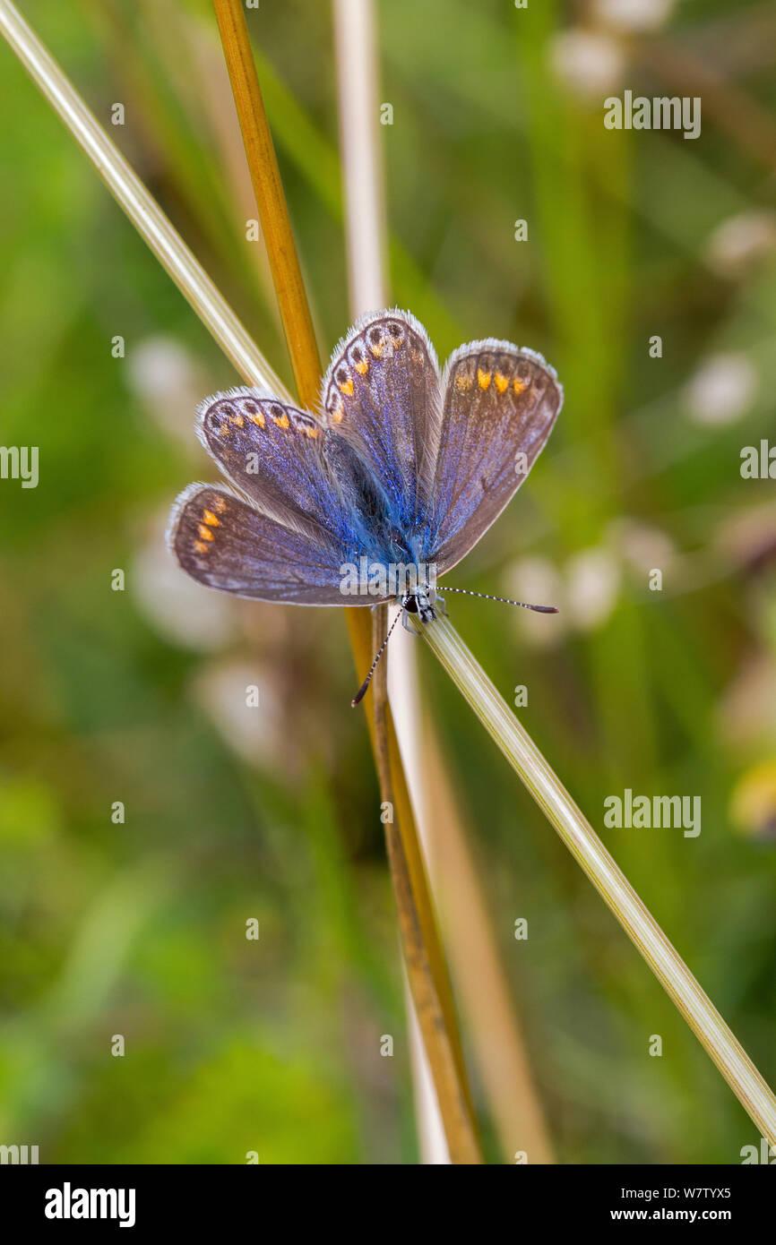 Hembra mariposa azul común (Polyommatus icarus) sobre el vástago, Hutchinson's Bank, New Addington, Londres, Reino Unido, Agosto. Foto de stock
