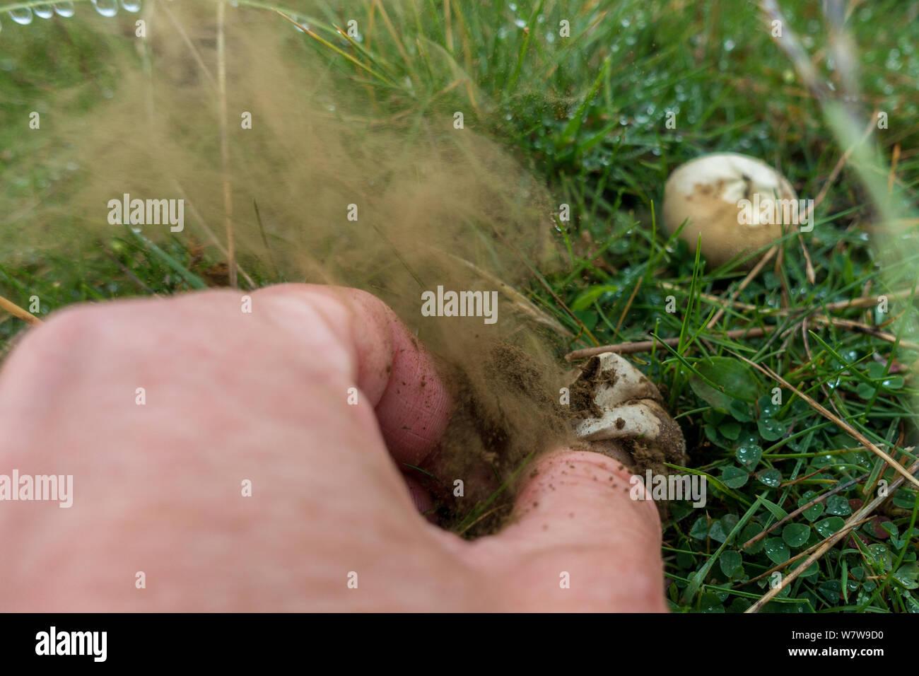 Naturaleza: Reino Unido persona exprimiendo un hongo puffball, liberando las esporas en una nube Foto de stock