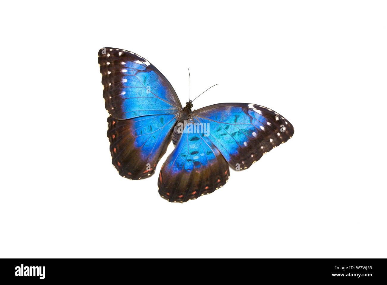 Mariposa Morpho azul (Morpho peleides) ocurre América del Sur Foto de stock