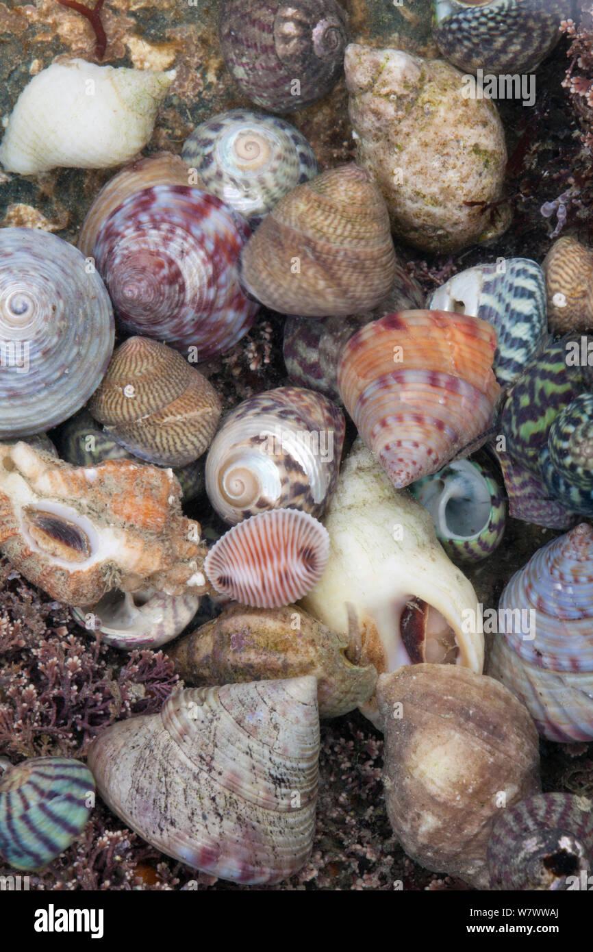 Conchas en la playa mixto en Sark, Islas del Canal de La Mancha. Foto de stock